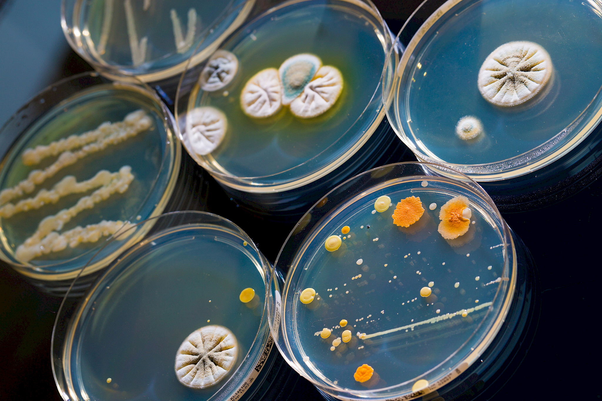 Petri dish with growing cultures of microorganisms and moulds